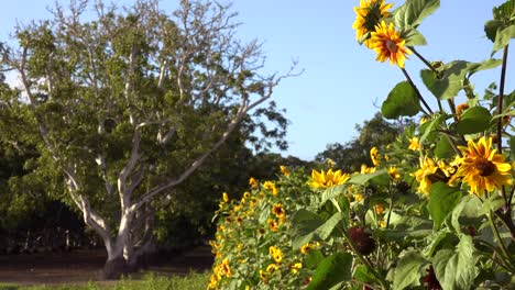 Sunflowers-Grow-In-A-Field-With-Walnut-Trees-Suggesting-Farms-Ranches-And-Beauty
