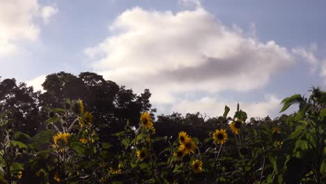 Timelapse-Of-Clouds-Moving-Above-A-Field-Of-Sunflowers