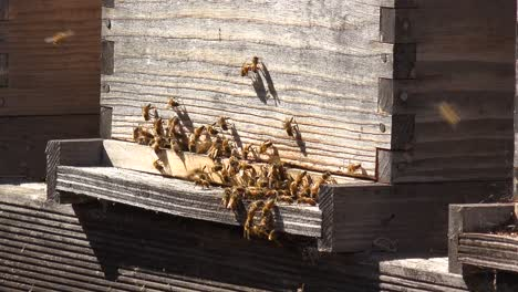 Close-Up-Of-Honeybees-Enter-A-Bee-Box-An-Example-Of-Beekeeping