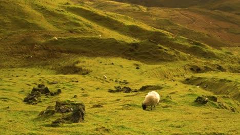 Se-Ven-Ovejas-Pastando-En-El-Deslizamiento-De-Tierra-Quiraing-En-La-Isla-De-Skye-En-Escocia