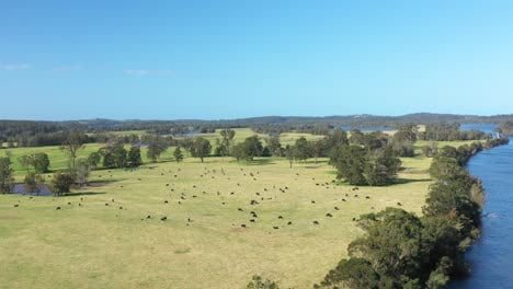 Great-Aerial-Shot-Of-Cattle-Grazing-In-Moruya-New-South-Wales-Australia