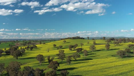 An-Excellent-Aerial-View-Of-Canola-Fields-In-Cowra-Australia