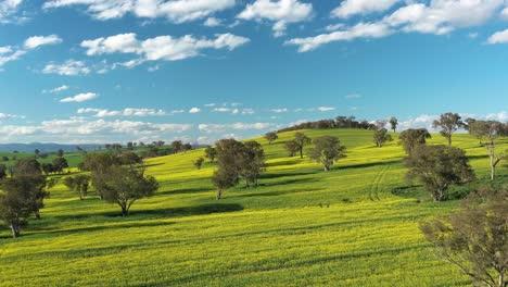 An-Excellent-Vista-Aérea-View-Of-Canola-Fields-In-Cowra-Australia-1