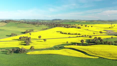 An-Excellent-Aerial-View-Cars-Driving-Through-Canola-Fields-In-Cowra-Australia