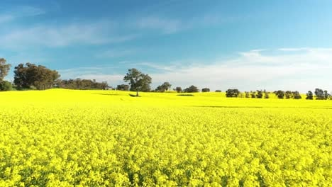 An-Excellent-Tracking-Shot-Through-Canola-Fields-In-Cowra-Australia