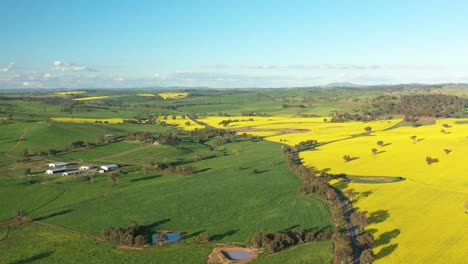 An-Excellent-Aerial-View-Cars-Driving-Past-Canola-Fields-In-Cowra-Australia