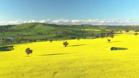 An-Excellent-Aerial-Shot-Of-Canola-Fields-In-Cowra-Australia-2