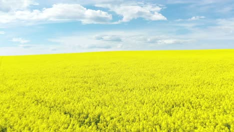 An-Excellent-Tracking-Shot-Through-The-Yellow-Canola-Fields-In-Cowra-Australia