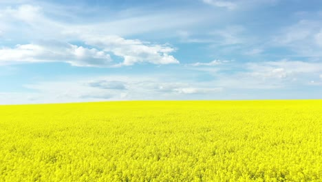 An-Excellent-Tracking-Shot-Through-The-Yellow-Canola-Fields-In-Cowra-Australia-1