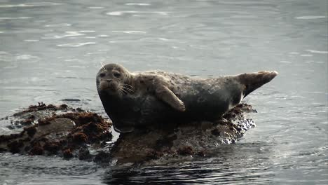 A-Harbor-Seal-Laying-Lazingly-On-the-Pacific-Coast