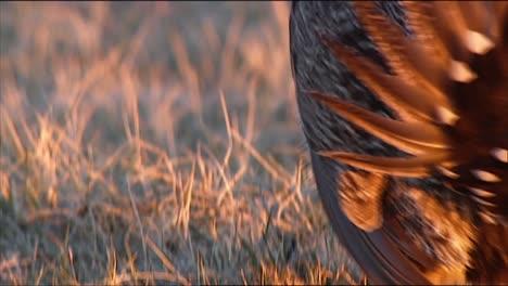 Nahaufnahmen-Des-Größeren-Salbeihuhnvogels-In-Einem-Feld