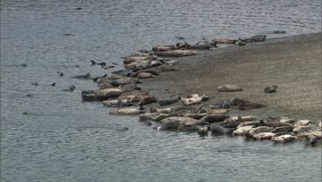 A-Large-Number-Of-Harbor-Seals-Hang-Out-And-Swim-In-A-Small-Harbor-On-the-Pacific-Coast