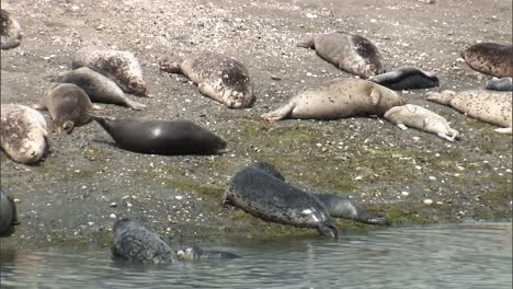Harbor-Seals-And-their-Younglings-Hang-Out-On-the-Beach-Of-A-Small-Harbor-On-the-Pacific-Coast