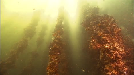 An-Underwater-Mussel-Shellfish-Aquaculture-Farm-In-the-Us-2010S