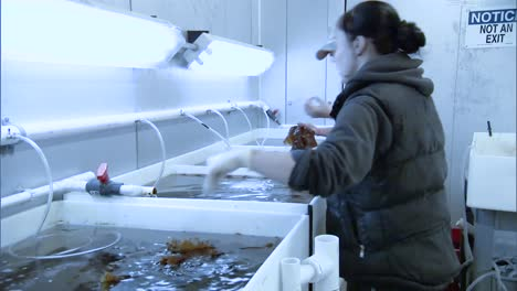 Workers-Collect-Kelp-And-Raise-Sea-Urchins-In-An-Aquaculture-Farm-In-the-Us-2010S