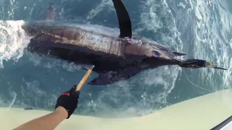 Fishermen-Measure-the-Length-Of-An-Atlantic-Blue-Marlin-In-the-Ocean-2010S