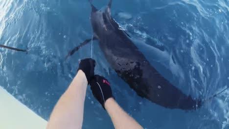 Fishermen-Mark-An-Atlantic-Blue-Marlin-Shots-Of-the-Marlin-In-the-Water-2010S