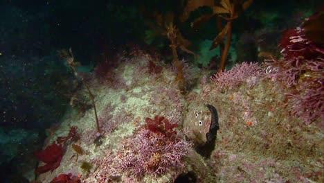Close-Up-Shots-Of-An-Abalone-Shellfish-Underwater-Near-California-2010S