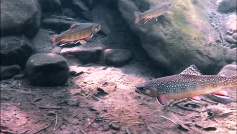 Trout-Are-Seen-Swimming-As-A-School-In-A-Sundappled-Brook