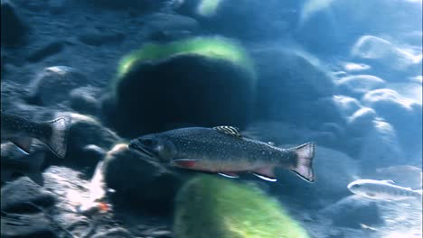 Trout-Are-Seen-Swimming-In-A-Sundappled-Brook