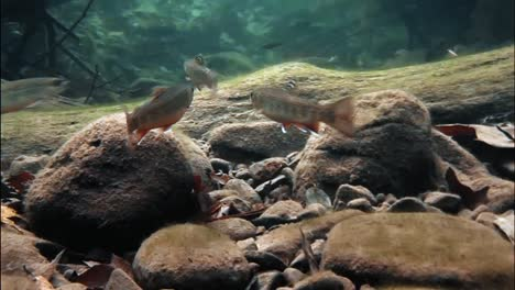 Trout-Are-Seen-Swimming-In-A-Brook-Where-the-Floor-Is-Covered-In-Autumn-Leaves