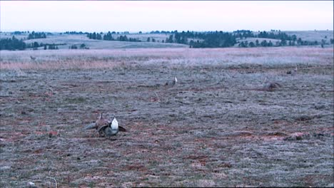 Sage-Brush-Grouse-Hunt-In-A-Wintry-Field