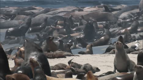 A-Large-Number-Of-California-Sea-Lions-Relaxing-With-their-Younglings-On-A-Beach-2010S