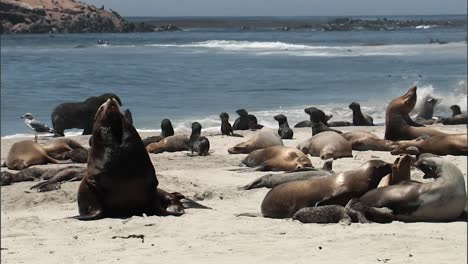 Close-Up-Shots-Of-Young-California-Sea-Lions-Relaxing-On-A-Beach-2010S