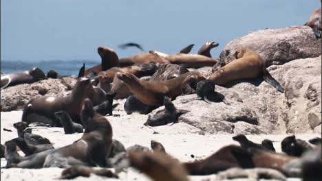 Close-Up-Shots-Of-Young-California-Sea-Lions-Relaxing-And-Feeding-On-A-Beach-2010S