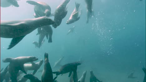 Underwater-Shots-Of-A-Group-Of-California-Sea-Lions-Swimming-2010S