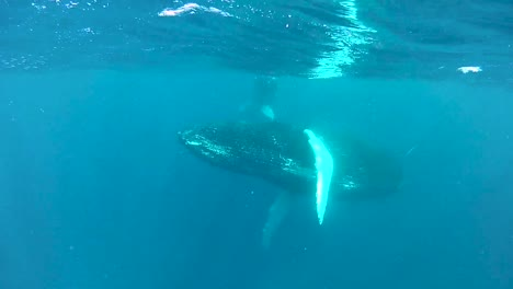 Underwater-Shots-Of-A-Humpback-Whale-And-Its-Niño-Swimming-Near-the-Surface-2010S