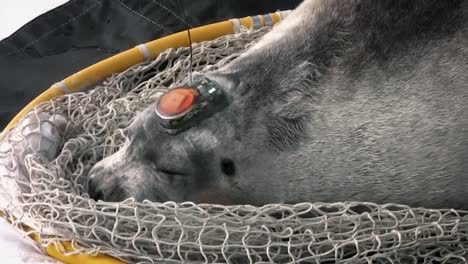 A-Bearded-Seal-With-An-Interesting-Tracking-Device-Attached-To-Its-Head-2010S
