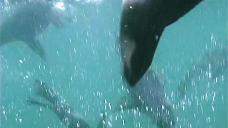 Northern-Fur-Seals-On-the-Pribilof-Islands-Swimming-Underwater-With-their-Cubs