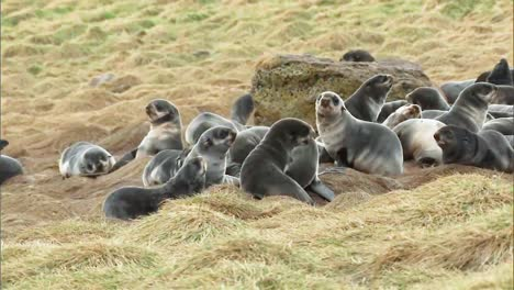 Northern-Fur-Seal-Cubs-Socializing-In-A-Field-On-the-Pribilof-Islands