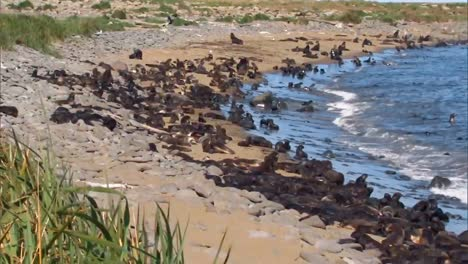 A-Large-Group-Of-Northern-Fur-Seals-And-their-Cubs-On-A-Beach-On-the-Pribilof-Islands