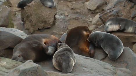 Eine-Gruppe-Nördlicher-Seebären-Und-Ihre-Jungen-An-Einem-Strand-Auf-Den-Pribilof-Inseln