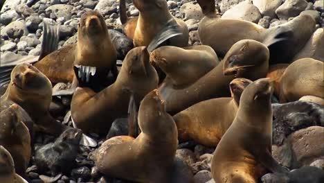 Nördliche-Pelzrobben-Und-Ihre-Jungen-Hängen-Auf-Felsen-In-Der-Nähe-Des-Strandes-Der-Pribilof-Inseln