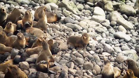 Northern-Fur-Seals-And-their-Newly-Born-Cubs-Hang-Out-On-Rocks-Near-the-Beach-Of-the-Pribilof-Islands
