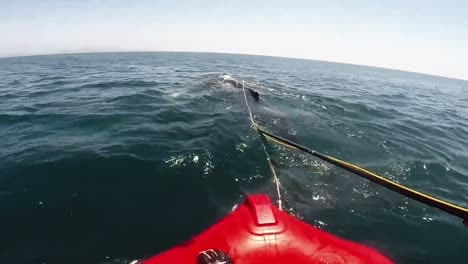 Head-Mount-Footage-Of-Noaa-Attempting-To-Distentangle-An-Injured-Humpback-Whale-From-Fishing-Gear