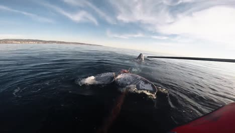 Head-Mount-Footage-Of-Noaa-Attempting-To-Distentangle-A-Humpback-Whale-From-Fishing-Gear