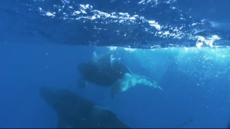 Underwater-Footage-Of-A-Humpback-Whale-Entangled-In-Fishing-Gear