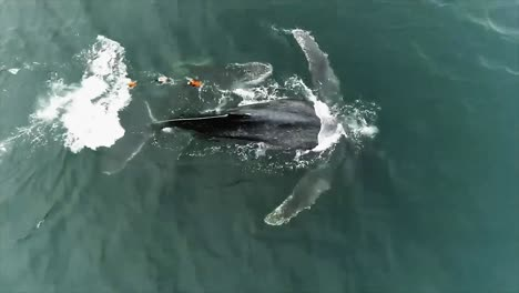 Aerial-And-Underwater-Footage-Of-An-Injured-Humpback-Whale-Entangled-In-Fishing-Gear