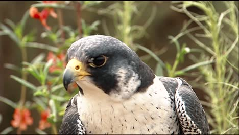 Closeup-View-Of-Face-Of-A-Peregrine-Falcon-(Falco-Peregrinus)-And-A-Redtailed-Hawk-(Buteo-Jamaicensis)