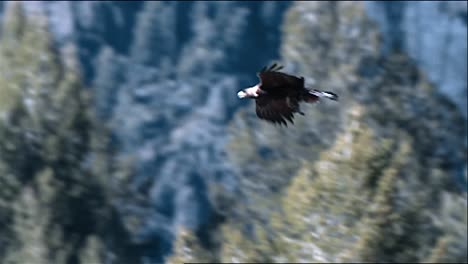 Panning-Shot-Following-the-Path-Of-A-Golden-Eagle-(Aquila-Chrysaetos)-In-Flight