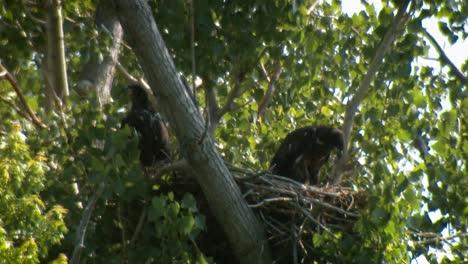 Two-Bald-Eagle-Chicks-(Haliaeetus-Leucocephalus)-In-Nest