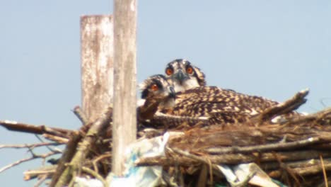 Osprey-(Haliaeetus-Leucocephalus)-And-Chicks-In-Nest-Various-Adult-And-Chick-Osprey-Shots