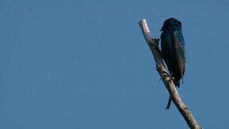 Phoebe-Oriental-(sayornis-Phoebe)-Y-Ruiseñor-Del-Norte-(mimus-Polyglottos)-Posados-En-árboles-Junco-Oscurecido-(raza-De-Pizarra)-(junco-Hyemalis)