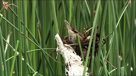 Juncia-Wren-(Cistothorus-Platensis)-Encaramado-En-El-Nido-Sobre-Las-Malas-Hierbas-2013