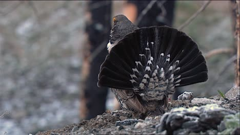 Dusky-Grouse-(Dendragapus-Obscurus)-Turns-To-Show-Closeup-Of-Face-Zooms-Out-For-Full-Bird-View-2013
