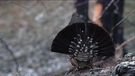 Urogallo-Oscuro-(Dendragapus-Obscurus)-Entra-En-El-Marco-Y-Muestra-Sus-Plumas-Traseras-2013